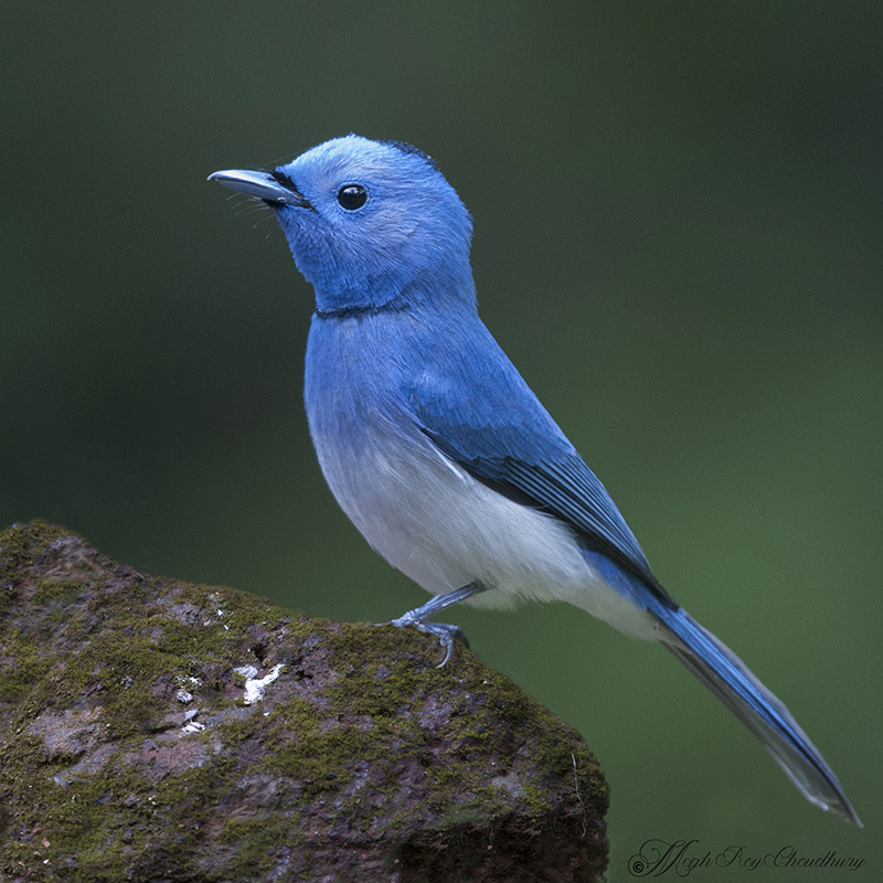 Black-naped Monarch. Interview with Megh Roy Choudhury. An Amazing Bird Wildlife Nature Photographer from Calcutta or Kolkata, India. Best Bird Wildlife Nature Photography Tips.