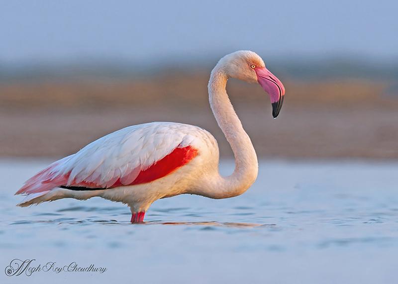 Greater Flamingo. Interview with Megh Roy Choudhury. An Amazing Bird Wildlife Nature Photographer from Calcutta or Kolkata, India. Best Bird Wildlife Nature Photography Tips.