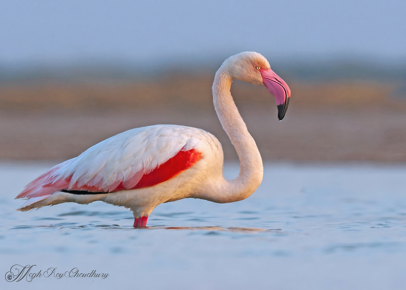 Greater Flamingo. Interview with Megh Roy Choudhury. An Amazing Bird Wildlife Nature Photographer from Calcutta or Kolkata, India. Best Bird Wildlife Nature Photography Tips.