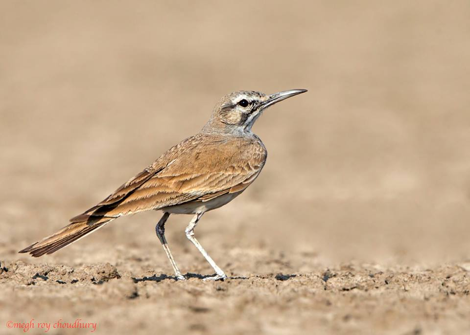 Greater Hoopoe Lark. Interview with Megh Roy Choudhury. An Amazing Bird Wildlife Nature Photographer from Calcutta or Kolkata, India. Best Bird Wildlife Nature Photography Tips.