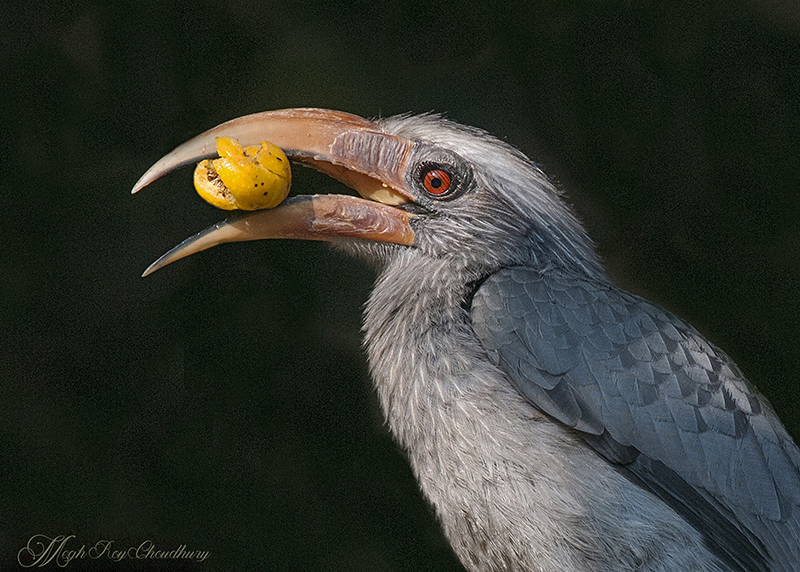 Grey Hornbill. Interview with Megh Roy Choudhury. An Amazing Bird Wildlife Nature Photographer from Calcutta or Kolkata, India. Best Bird Wildlife Nature Photography Tips.