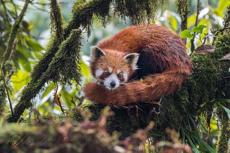 Red Panda. Interview with Megh Roy Choudhury. An Amazing Bird Wildlife Nature Photographer from Calcutta or Kolkata, India. Best Bird Wildlife Nature Photography Tips.