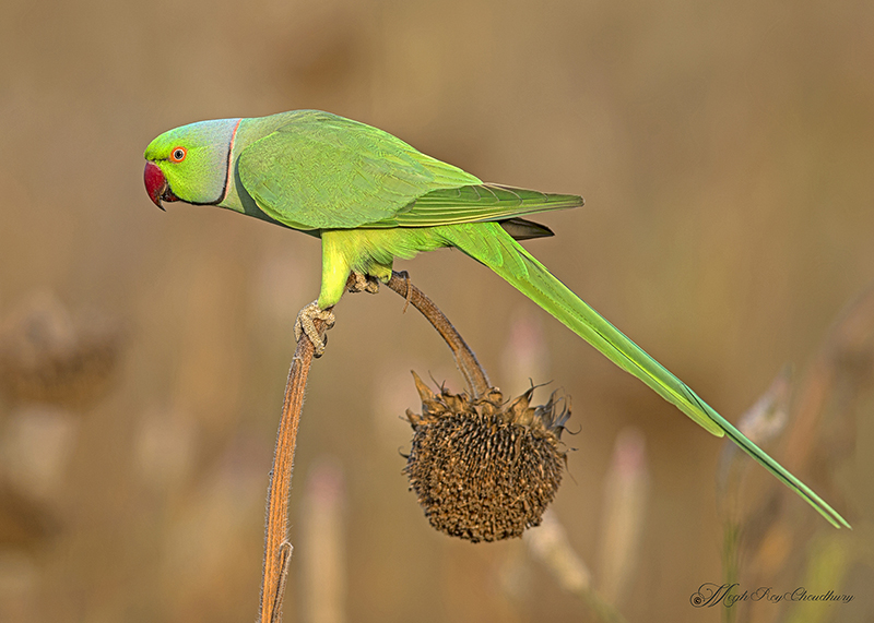 Rose-ringed Parakeet. Interview with Megh Roy Choudhury. An Amazing Bird Wildlife Nature Photographer from Calcutta or Kolkata, India. Best Bird Wildlife Nature Photography Tips.