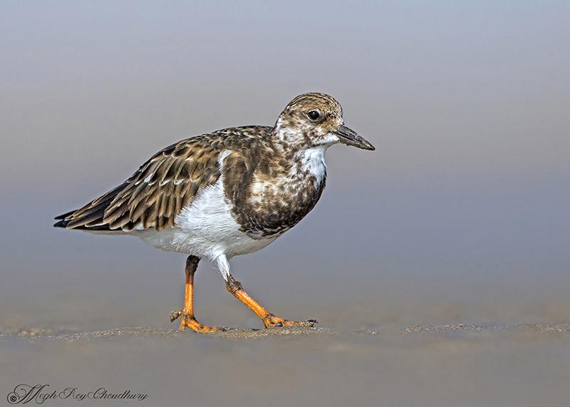 Ruddy Turnstone. Interview with Megh Roy Choudhury. An Amazing Bird Wildlife Nature Photographer from Calcutta or Kolkata, India. Best Bird Wildlife Nature Photography Tips.