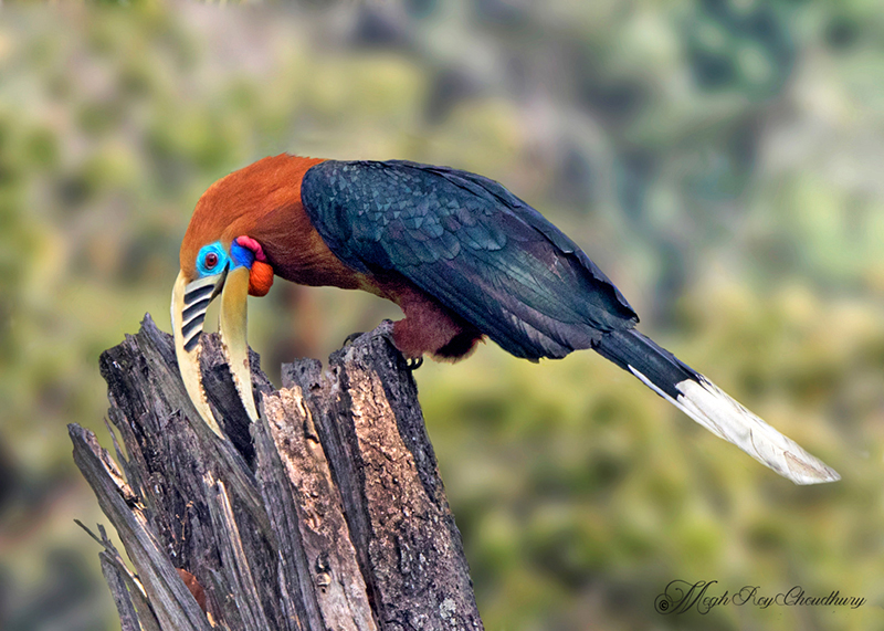 Rufous-necked Hornbill. Interview with Megh Roy Choudhury. An Amazing Bird Wildlife Nature Photographer from Calcutta or Kolkata, India. Best Bird Wildlife Nature Photography Tips.
