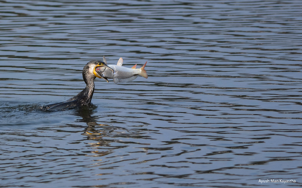 Ayush_Man_-KayasthaGreat_Cormorant_With_Its_Catch-