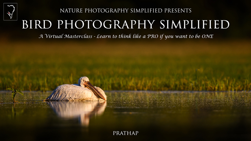 Bird Photography Simplified eBook or Book by Prathap. The best book on bird photography. Best bird photography tips for beginners. Nature Photography Simplified.