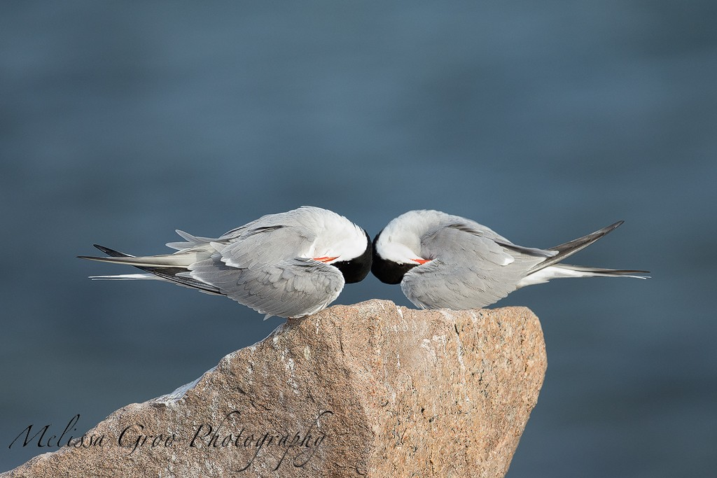 Roseate Terns. Interview with Melissa Groo. A professional bird and wildlife photographer. Best bird photography and wildlife photography tips. Nature Photography Simplified.