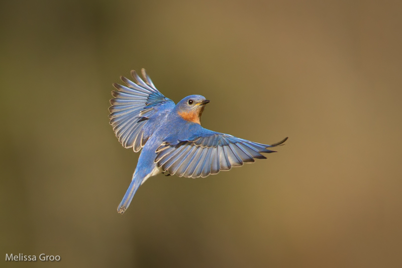 Eastern Bluebird. Interview with Melissa Groo. A professional bird and wildlife photographer. Best bird photography and wildlife photography tips. Nature Photography Simplified.