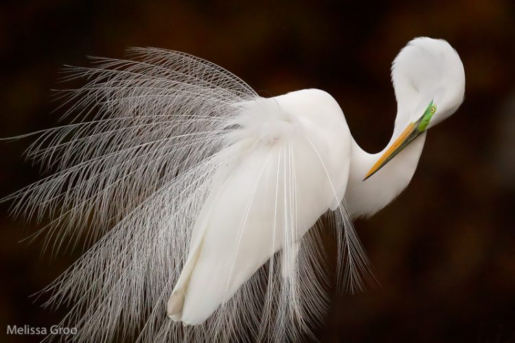 Great Egret. Award Winning Photograph. Interview With Melissa Groo. A Professional Bird And Wildlife Photographer. Best Bird Photography And Wildlife Photography Tips. Nature Photography Simplified.
