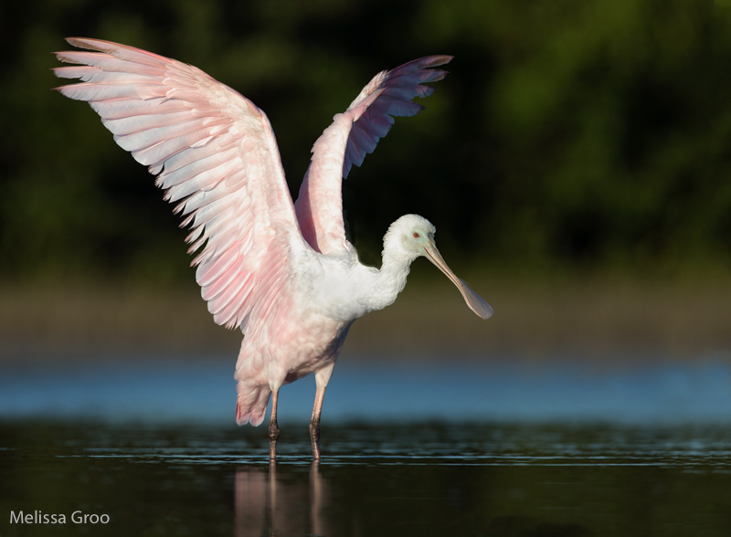 Roseate Spoonbill. Interview with Melissa Groo. A professional bird and wildlife photographer. Best bird photography and wildlife photography tips. Nature Photography Simplified.