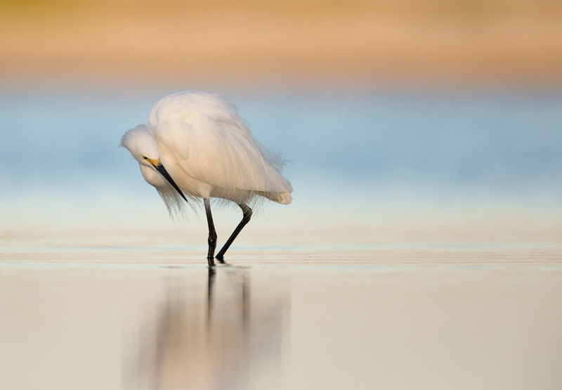 Snowy Egret Hunting. Interview with Melissa Groo. A professional bird and wildlife photographer. Best bird photography and wildlife photography tips. Nature Photography Simplified.