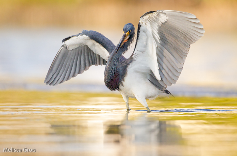Tricolored Heron. Interview with Melissa Groo. A professional bird and wildlife photographer. Best bird photography and wildlife photography tips. Nature Photography Simplified.