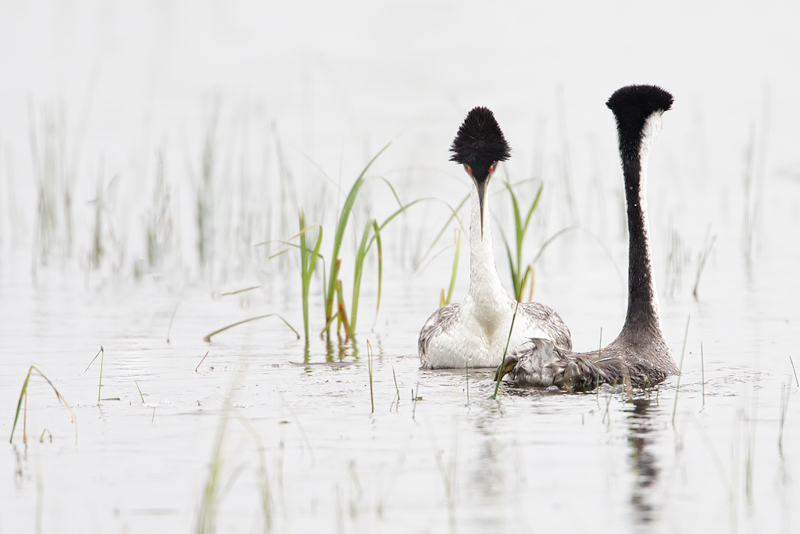 Western Grebe Pair. Interview with Melissa Groo. A professional bird and wildlife photographer. Best bird photography and wildlife photography tips. Nature Photography Simplified.