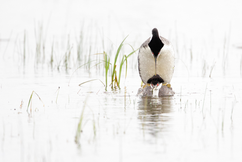 Western Grebes Mating. Interview with Melissa Groo. A professional bird and wildlife photographer. Best bird photography and wildlife photography tips. Nature Photography Simplified.