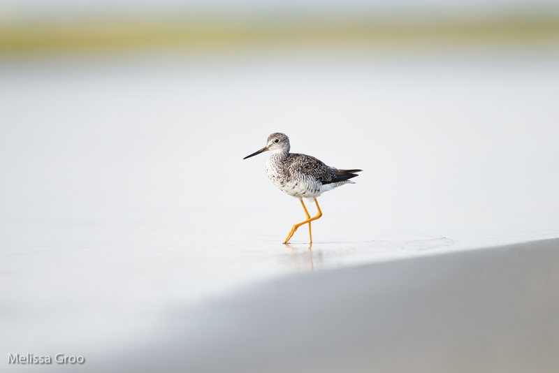 GROO_Yellowlegs