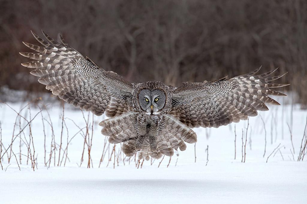 Graet-Gray-Owl-Landing