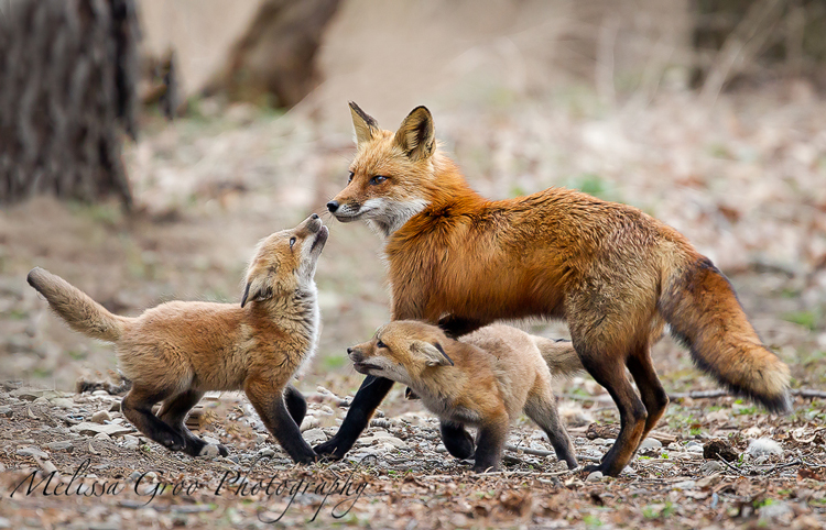 Red Fox family playing. Roseate Terns. Interview with Melissa Groo. A professional bird and wildlife photographer. Best bird photography and wildlife photography tips. Nature Photography Simplified.