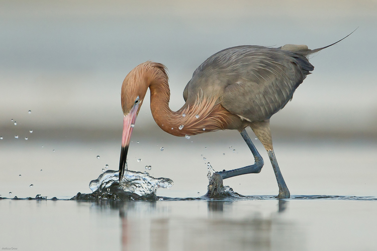 Reddish Egret Fishing. Interview with Melissa Groo. A professional bird and wildlife photographer. Best bird photography and wildlife photography tips. Nature Photography Simplified.