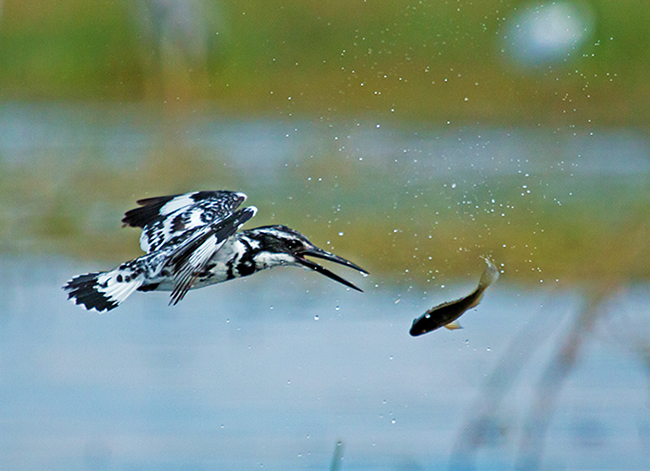 Guru_Pied_Kingfisher