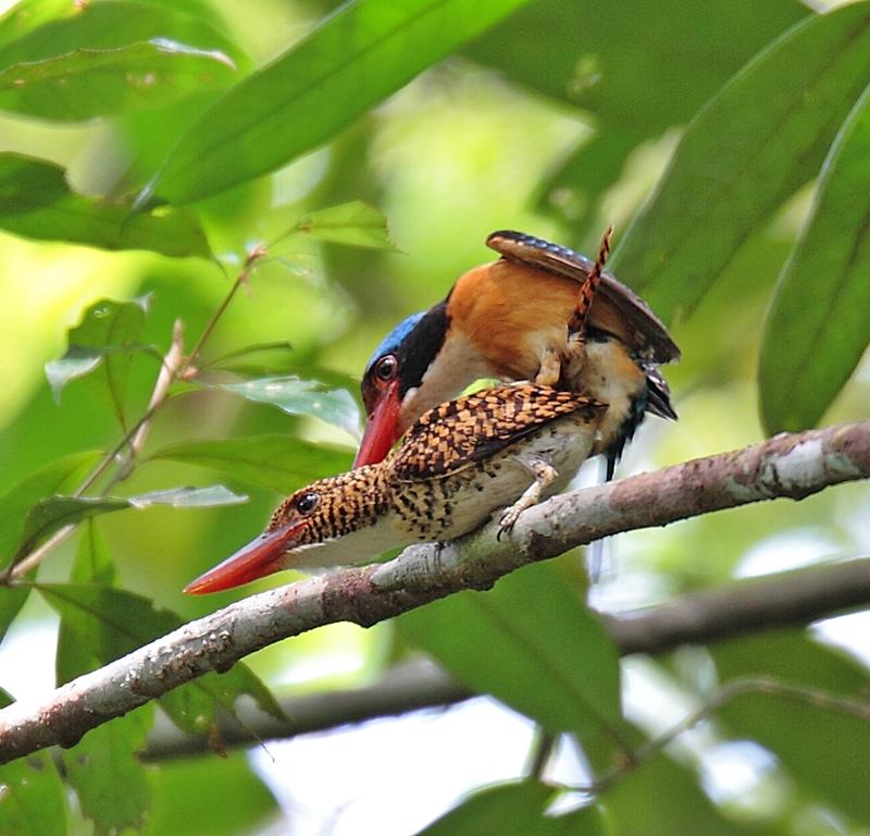 banded-Kingfisher111