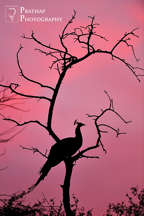 2015 Nature's Best Photography Asia Awards Semi-finalist. Silhouette of an Indian Peafowl in Keoladeo National Park or Bharatpur Bird Sanctuary. Bird Photography by Prathap.