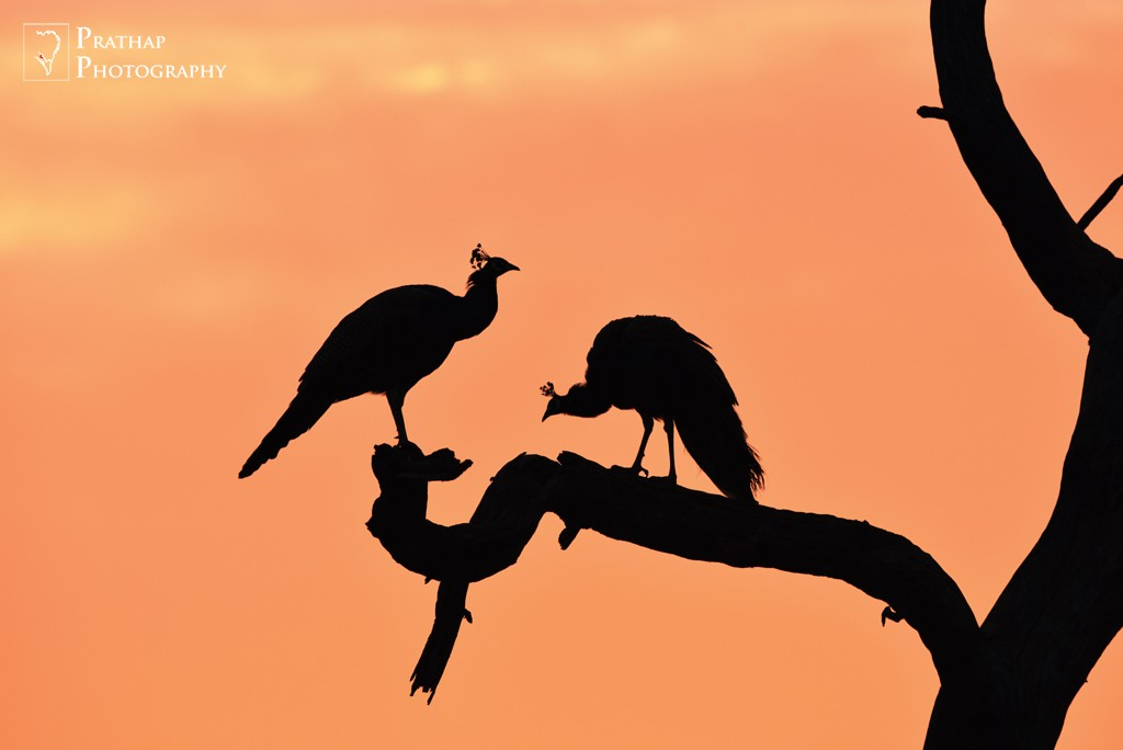 2015 Windland Smith Rice International Awards Semi-finalist. Silhouette of an Indian Peafowl pair in Keoladeo National Park or Bharatpur Bird Sanctuary. Bird Photography by Prathap.