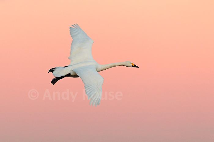 Bewick's Swan (Cygnus columbianus) flying in at sunset Slimbridge WWT, UK Image Copyright (c) Andy Rouse