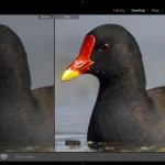 Simple & Practical Bird Photography Post-Processing Workflow Using Adobe Lightroom