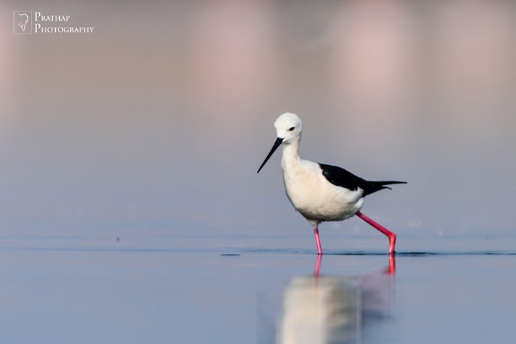 Birds of Jamnagar, Gujarat, India. Birding hot spots in Jamnagar, Gujarat, India. Bird photography tips by Prathap. Bird, wildlife, and Nature Photography photographs pictures.