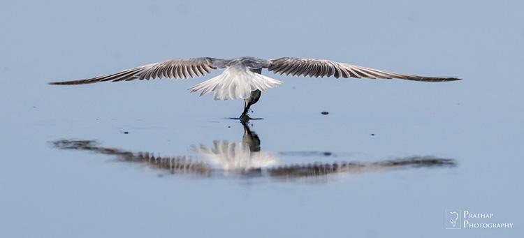 Birds of Jamnagar, Gujarat, India. Birding hot spots in Jamnagar, Gujarat, India. Bird photography tips by Prathap. Bird, wildlife, and Nature Photography photographs pictures.