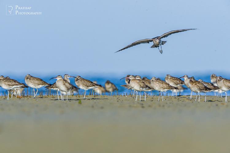 Narara Marine National Park. Birds of Jamnagar, Gujarat, India. Birding hot spots in Jamnagar, Gujarat, India. Bird photography tips by Prathap. Bird, wildlife, and Nature Photography photographs pictures.