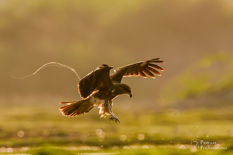 Marsh harrier in back-light during golden hours in Jamnagar, Gujarat, India.