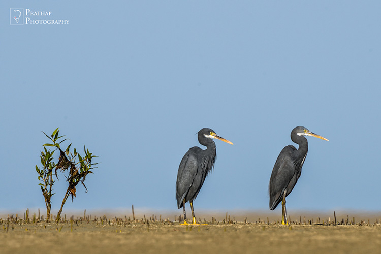 Narara Marine National Park. Birds of Jamnagar, Gujarat, India. Birding hot spots in Jamnagar, Gujarat, India. Bird photography tips by Prathap. Bird, wildlife, and Nature Photography photographs pictures.