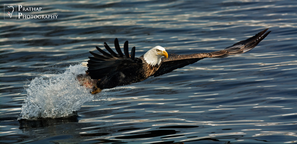 American Bald Eagle Fishing.