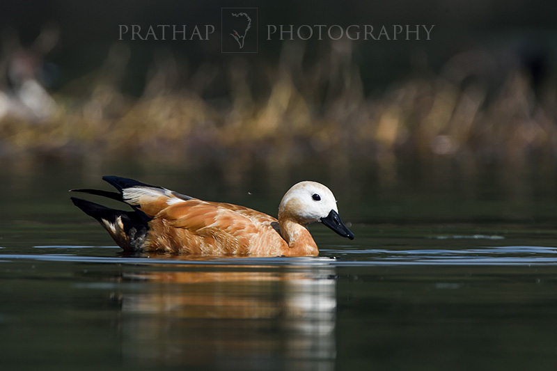 A Ruddy Shelduck or Brahminy Duck is a Pleasant Watch for Any Nature Lover. A Complete Guide to Best Bird Sanctuary in India - Bharatpur Bird Sanctuary or Keoladeo National Park, Bharatpur, Rajasthan, India. Image Copyright © Prathap Photography