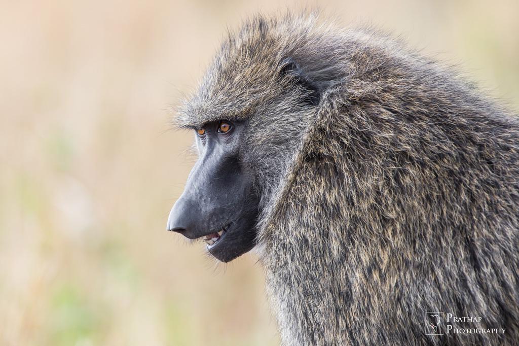 birds-wildlife-nature-photography-by-prathap-the-great-migration-trip-masai-mara-kenya-africa-1186