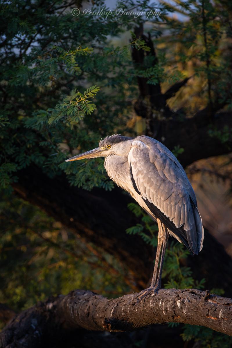 Bharatpur Bird Sanctuary, Keoladeo Ghana National Park, Bird Photography, Birds of Rajasthan, India, Prathap Photography, Nature Photography Simplified