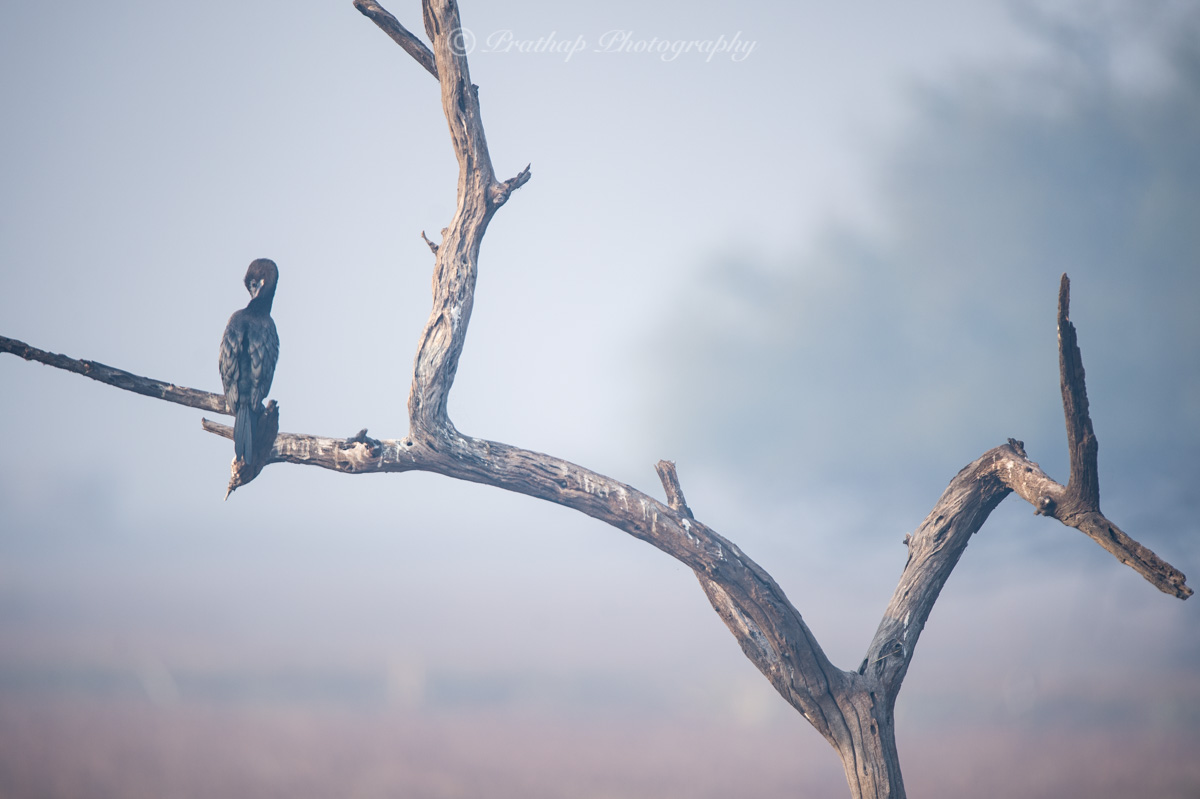 Bharatpur Bird Sanctuary, Keoladeo Ghana National Park, Bird Photography, Birds of Rajasthan, India, Prathap Photography, Nature Photography Simplified