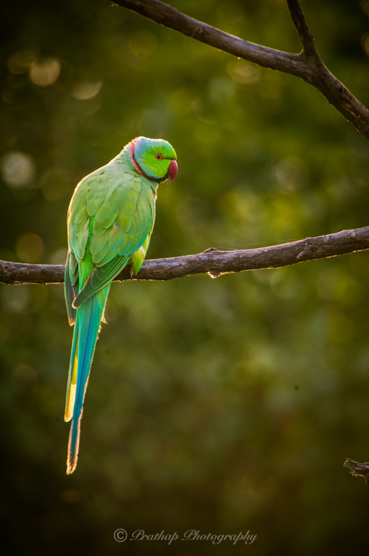 Adobe Lightroom Bird Photography Presets for Bird Photographers by Prathap D K