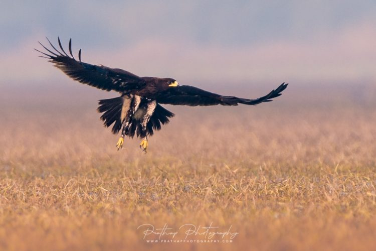 How To Get Photograph Birds In Flight. How To Get Tack Sharp Images Of Birds In Flight. Bird In Flight Photography By Prathap D K. Nature Photography Simplified.