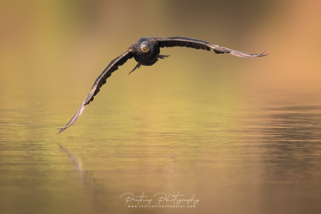 Birds in flight or bird in flight (BIF) tips and tutorial for beginners, amateurs, novice bird photographers by Prathap. Nature Photography Simplified.